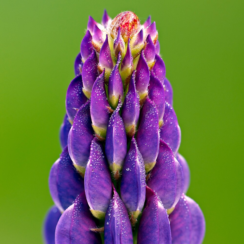 Lupin Dew by Keld Bach
