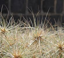 Female flowers of the Hairy Spinifex, ready to roll by flaxlily