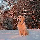 My Golden Retriever Ditte watches the winter sunset by Trine
