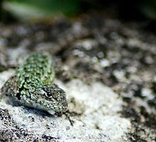 Emerald Swift (Sceloporus malachiticus) - Costa Rica  by Jason Weigner