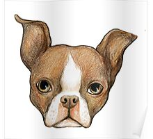 Brown Boston Terrier Poster