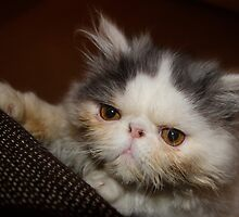 Persian Kitten by fenster