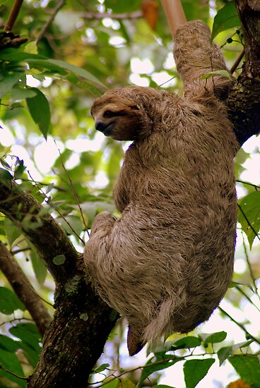 Three-toed sloth (Bradypus variegatus) - Costa Rica by Jason Weigner