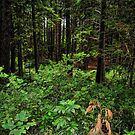 A Walk In A Pacific West Coast Forest by Brenda Boisvert