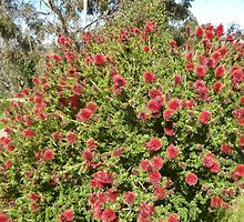 Kunzia Baxteri Australian Native bottle brush. Spring! by Rita Blom
