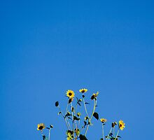 Sunflowers of Hope by LauraMargaret