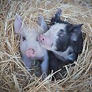 Two Little Pigs 2  by Pauline Tims