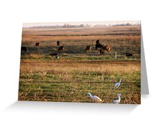 Cattle Egrets Greeting Card