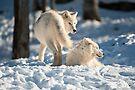 Winter Wolves by Bill Maynard