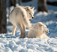 Winter Wolves by Bill Maynard