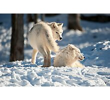 Winter Wolves Photographic Print