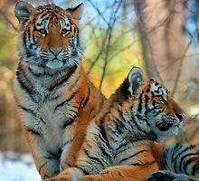 Bengal Tiger Cubs by alan shapiro