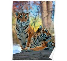 Bengal Tiger Cubs Poster