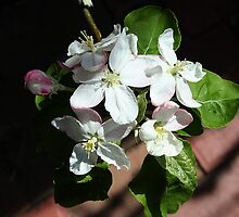 Apple blossom white by Maggie Hegarty