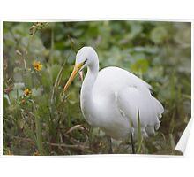 Giant Egret At De Leon Springs Poster