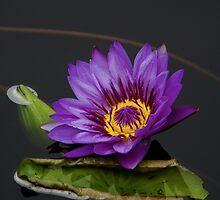 Purple Water Lily by Adam Bykowski