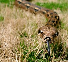 Snake with tongue out in grass by ashley hutchinson