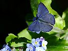 Tiny Blue Butterfly! by Gabrielle  Lees