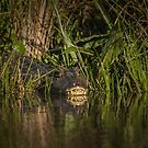 Caiman by photograham