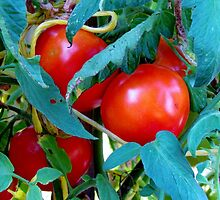 Ripe Red Tomatoes by Cynthia48