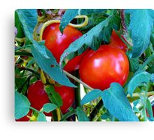 Ripe Red Tomatoes Canvas Print