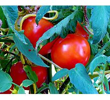 Ripe Red Tomatoes Photographic Print
