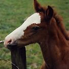 Foal by AnnDixon