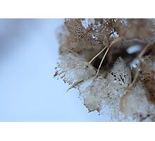 Winter Hydrangea  - JUSTART © Photographic Print