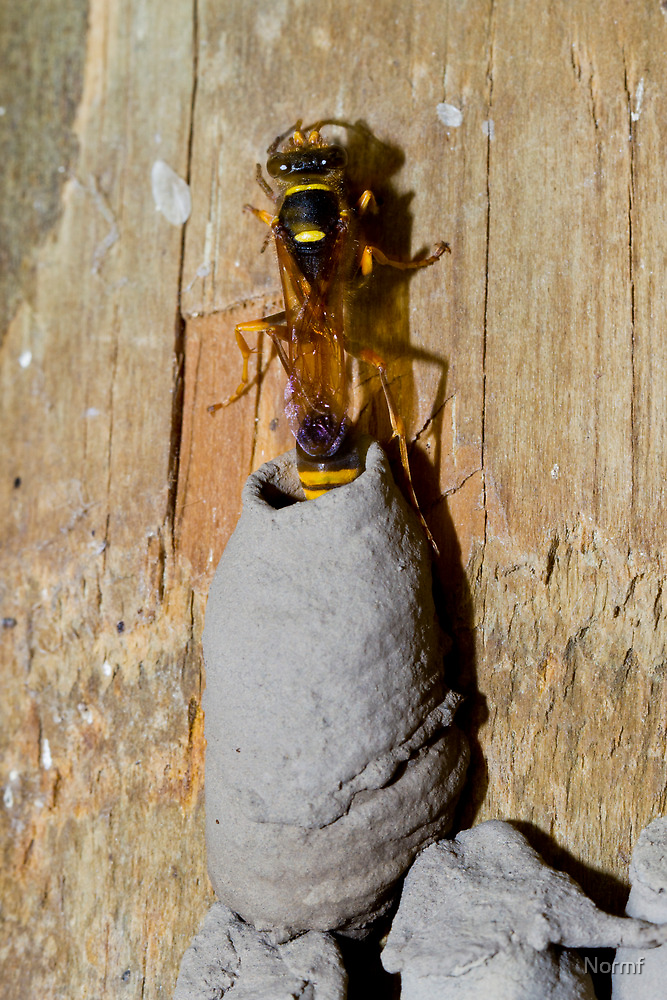 Potter Wasp by Normf