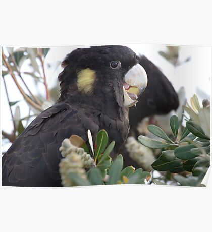 Yellow Tailed Black Cockatoo Poster