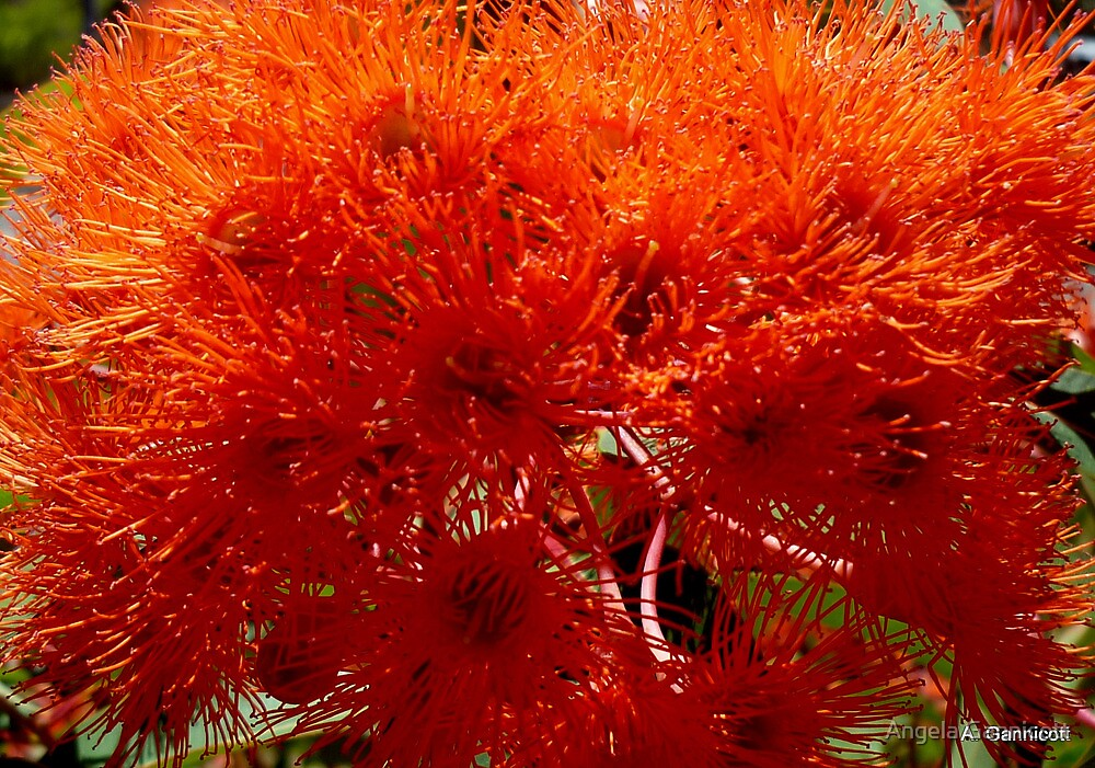 Blaze of Orange Gum Flowers by Angela Gannicott