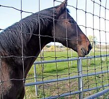 Horse Behind Fence - Dunrobin Ontario by Debbie Pinard
