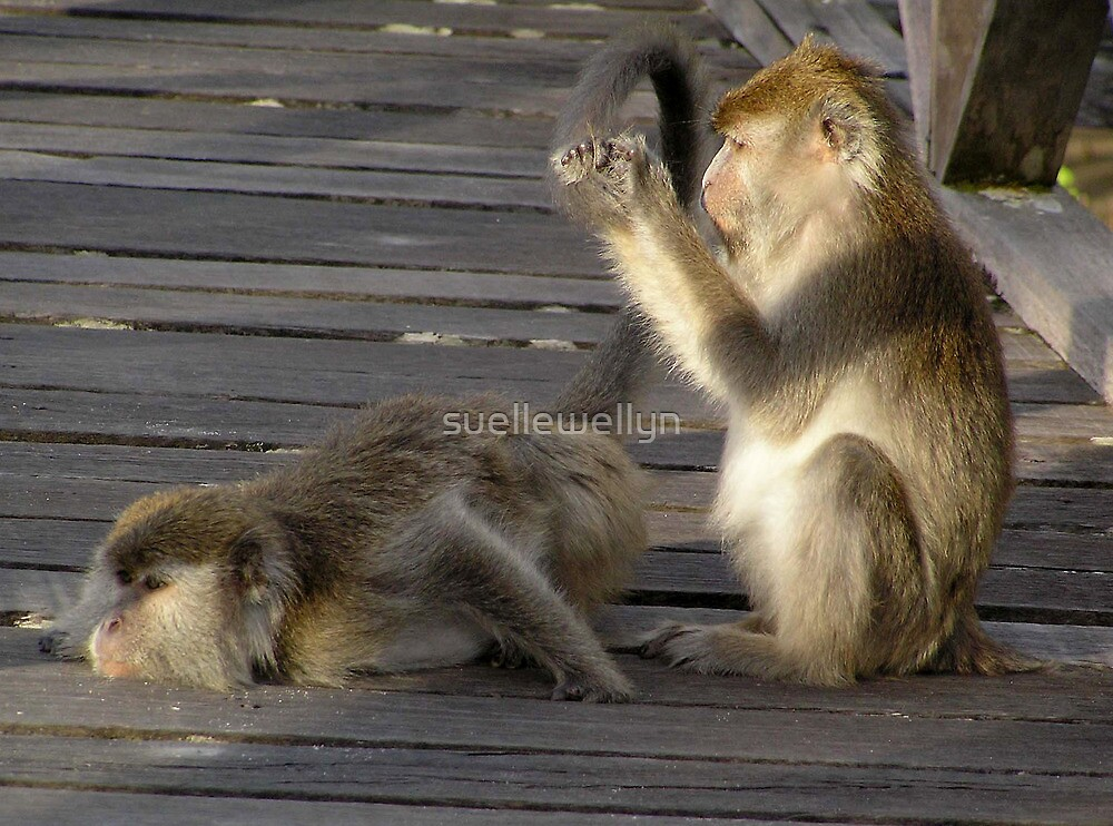 Its a Hard Life! - Monkeys at Bako National Park, Borneo,  by suellewellyn