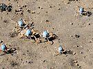 Blue Soldier Crabs by Margaret Stevens