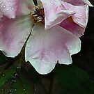 Raindrops on Roses  by paintingsheep