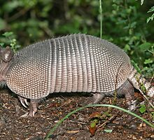 Beautiful Nine-banded Armadillo by cute-wildlife