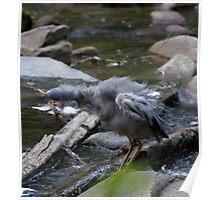 Bird - Cumberland River, Victoria Poster