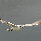 Seagull Soaring by RockyWalley