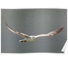 Seagull Soaring Poster
