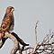Red-Tailed Hawk by Bill Maynard
