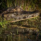 Caiman with Reflection by photograham