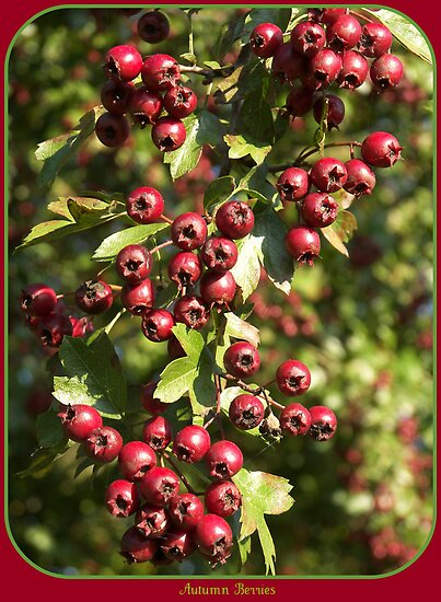 Autumn Berries by ColinBoylett