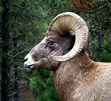 Bighorn Alert by Margaret  Hyde