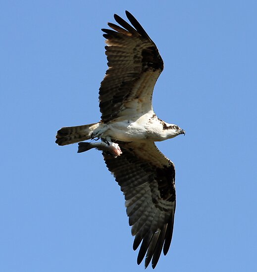 Osprey in flight with half eaten fish! by jozi1