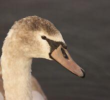 Swan - Caldecotte Lake Milton Keynes by JohnBuchanan