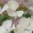 White Hydrangea by marens