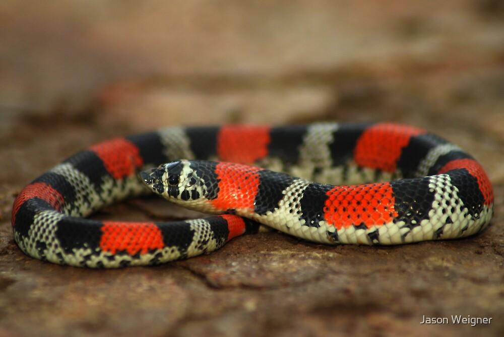 Ringed Hognose Snake (Lystrophis semicinctus) - Bolivia by Jason Weigner