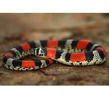 Ringed Hognose Snake (Lystrophis semicinctus) - Bolivia Photographic Print