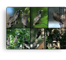 A Collage of Starling images Canvas Print