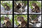 ~ Australian Koala ~ by LeeoPhotography
